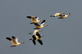 Snow Geese Fly_1568