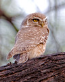Spotted Owlet_2644_DxO