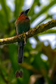 Broad Billed Motmot_3341