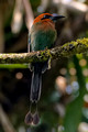 Broad Billed Motmot_3374