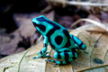 Green Black Poison Dart Frog_4254