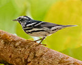 Black and White Warbler_4438