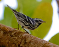 Black and White Warbler_4450
