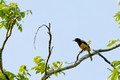 Black Cowled Oriole_4259
