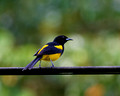 Black Cowled Oriole_4468