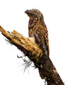 Great Potoo_4035