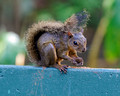 Red Tailed Squirrel_4305