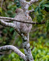 Three Toed Tree Sloth_3274