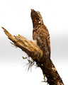 Great Potoo Cryptic Pose_4105