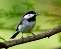 Carolina Chickadee_8162
