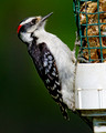 Downy Woodpecker_8225