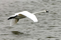 Swan Fly_1479