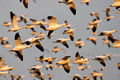 Snow Geese Fly_1635