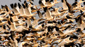 Snow Geese Fly_1615