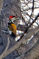 Flame Backed Woodpecker_2483_DxO