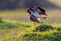 Lapwings_2510_DxO
