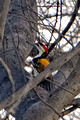 Flame Backed Woodpecker_2481_DxO
