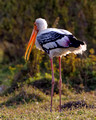 Painted Stork_2583_DxO