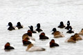 Greater Scaup and Canvasback