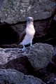 Blue Footed Booby 1