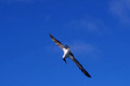 Blue Footed Booby Flight
