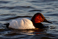 Canvasback_9924