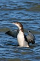 Common Loon_7494