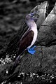 Blue Footed Booby 3 BW
