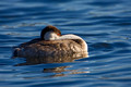 Western Grebe Sleep_2625