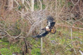 Eagle Imm Fly_2056