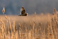 Short Eared Owl 6 - M Lombardi Low Res