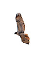 Red Tailed Hawk_9585