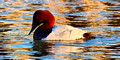 Canvasback_0422