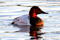 Canvasback_0396