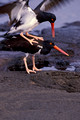 American Oystercatcher Pair 2