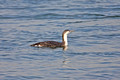 Red Throated Loon 1