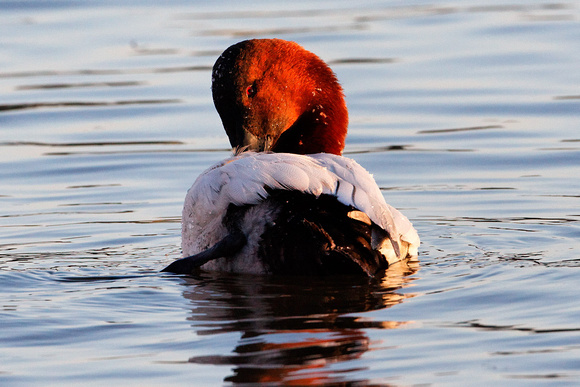Canvasback_0478
