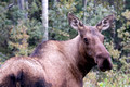 Moose Cow 7013_DxO