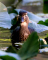 Wood Duck_A9_1674